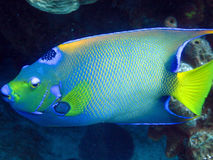 Queen Angelfish. A shy but striking Queen Angelfish is at home on the reef Stock Images