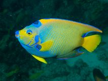 Queen Angelfish 01 Stock Image