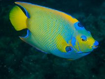 Queen Angelfish 02. Side-on shot of a Queen Angelfish against blue-green background Royalty Free Stock Photography
