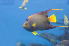Queen Angelfish swimming. Queen Angelfish (Holacanthus ciliaris) swimming in a reef Stock Image