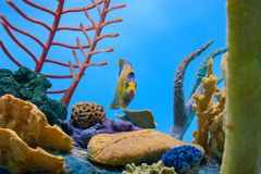 Queen angelfish swimming directly towards the viewer. With coral in the background Stock Image