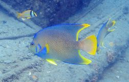 Queen Angelfish swimming among the rock and coral reef royalty free stock photography