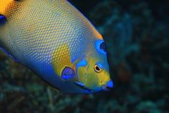 Free Queen Angelfish Underwater Stock Photography - 163820892