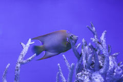 Queen angelfish underwater. Among the corals, holacanthus ciliaris Royalty Free Stock Photo