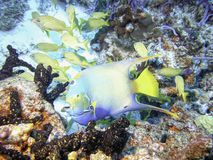 Queen Angelfish w/ Schooling French Grunts. A queen angelfish feeds on sponge while french grunts & a few fairy basslets mill around in the background on a Stock Image