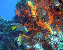 Queen angelfish w/ sponge Stock Photo