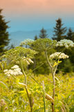 Queen Ann Lace Flower in the Appalachian Mountains Royalty Free Stock Photos