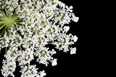 Queen Ann's Lace Stock Photography