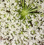 Queen Ann's Lace Closeup Stock Image