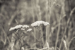 Queen Ann& x27;s Lace in Sepia Tones Stock Images
