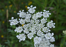 Queen Ann`s Lace. Taken in a local Michigan Park Royalty Free Stock Photo