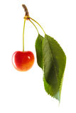 Queen Anne Cherry Royalty Free Stock Photography