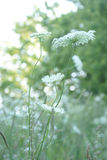 Queen Anne Lace Flower Series Royalty Free Stock Photos