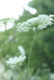 Queen Anne Lace Flower Series Stock Photo