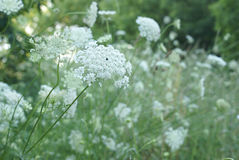 Queen Anne Lace Flower Series Royalty Free Stock Photography