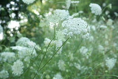 Queen Anne Lace Flower Series Stock Photos