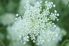 Queen Anne Lace Flower Series Royalty Free Stock Image