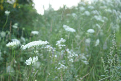 Queen Anne Lace Flower Series Stock Photography