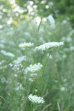 Queen Anne Lace Flower Series Stock Images