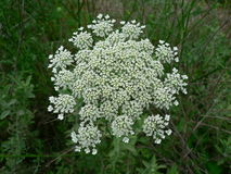 Queen Anne Lace royalty free stock photos