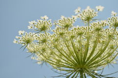 Queen Anne's Lace Royalty Free Stock Images