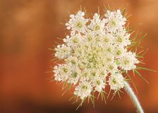 Free Queen Anne S Lace Royalty Free Stock Images - 6098229