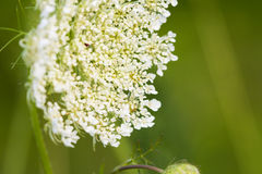 Queen Anne's Lace Stock Photo