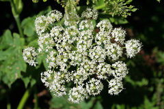Queen Anne's Lace. Oregon wildflower Royalty Free Stock Image