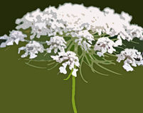 Queen Anne's Lace Royalty Free Stock Photography