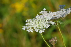 Queen Anne's Lace Royalty Free Stock Photo
