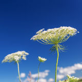 Queen Anne's Lace Stock Image