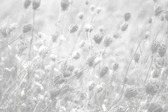 Queen Anne's Lace Background Stock Image