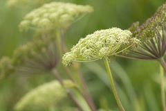 Queen Anne's lace. Stock Photos