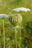 Queen Anne's Lace (Daucus carota)  closed umbel Stock Photo
