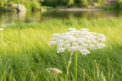 Queen Anne's lace (Daucus carota). Wildflower also known as wild royalty free stock photography