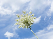 Queen Anne's Lace Flower Against a Blue Summer Sky. Blue sky and white clouds surround this Queen Anne's Lace flower Stock Photos