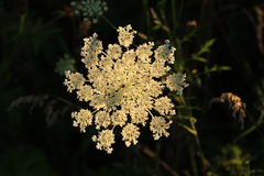 Queen Anne's Lace flower Stock Images
