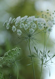 Queen Anne's Lace Flower Royalty Free Stock Photography