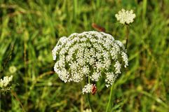 Queen Anne's lace flower with bug Stock Photos