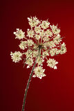 Queen Anne's Lace Flower on Dark Red Royalty Free Stock Photo