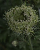 Queen Anne's Lace. Flower seed head resembling a bird's nest stock photography