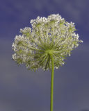 Queen Anne's Lace Stock Photography