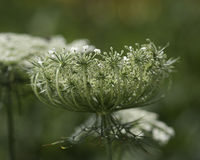 Queen Anne's Lace. Flower of Queen Anne's Lace in summer stock photos