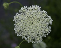 Queen Anne's Lace. Flower in summer showing lace like quality, and red central flower royalty free stock image