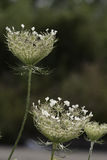Queen Anne's Lace. Flowers in summer Stock Photography