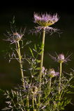Queen Anne's Lace in New Hampshire is about to open up Royalty Free Stock Photo