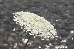 Queen Anne's Lace, shimmering lake. Royalty Free Stock Photos