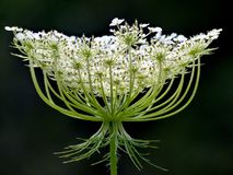 Queen Anne`s Lace Royalty Free Stock Images