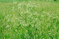 Queen Anne's Lace or wild carrot Daucus carota Royalty Free Stock Images