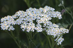 Queen Anne`s Lace stock photos